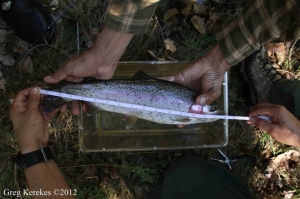 10:28:12 Steelhead trout North Colemans Ave ©Greg Kerekes