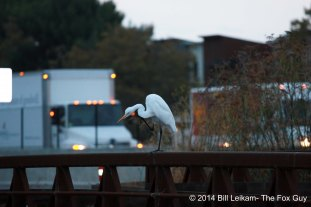 Baylands - 10-09-2013 - 038 - Great Egret
