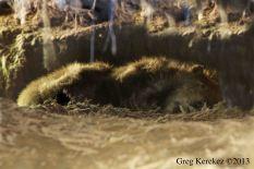 Beaver Slumber Los Gatos FB image ©Greg Kerekes 2013