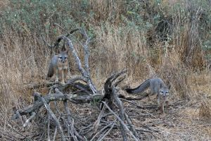 Two Gray Fox Pups 8-15-12