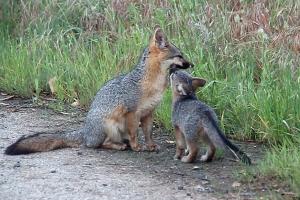 Squat and Bold Fox Kiss