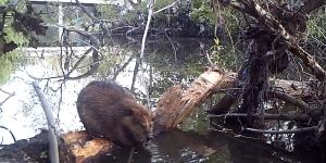 Beaver Guadalupe