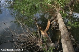 Beaver Tree at Confluence