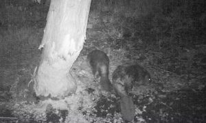 Two Beaver in the night.