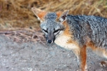 C - Baylands - 06-22-2013 - 074 - Gray fox Bold @ fox hollow
