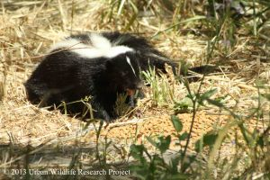 Skunk at feedin station