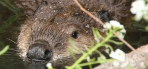 cropped-5-19-14-lexington-beaver-img_4169-big-file-greg-kerekezc2a92014.jpg