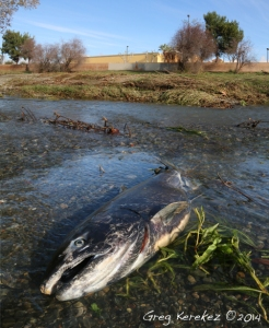 Chinook Salmon Calabasas Creek Santa Clara