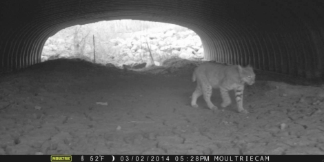 A Bobcat using a culvert to navigate under a busy road.