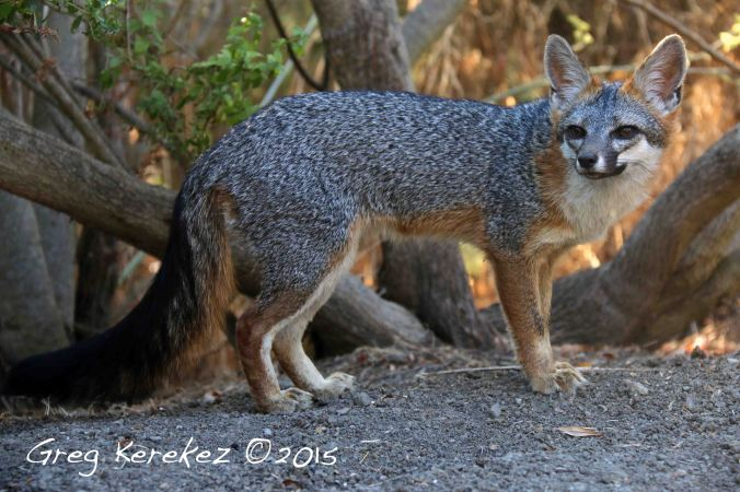 9-2-15 Foxing Pathways for Wildlife-Fox named Cute Matedero Cr.-IMG_6448-Greg Kerekez©2015