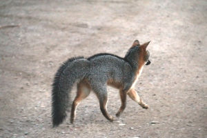 C - Baylands PM -12-01-2015-079 - Gray fox juvenile Blackie trotting off to challenge wild fox down road