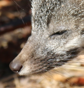 c-baylands-pm-2016-09-15-008-cute-darks-gray-fox-pup-one-eye-eye-cropped-close-good